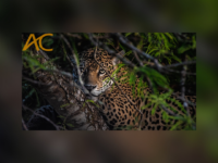 Leilão de fotos em NFT irá destinar toda arrecadação para ações do SOS Pantanal